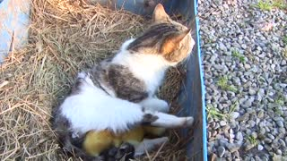 cat adopted ducklings - Video