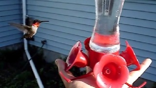 Watching a Wild Hummingbird In Flight - Video