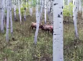 Two deer were fighting - Video