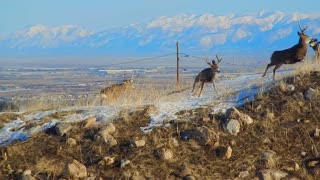 Deer Takes Flight In Utah Fight