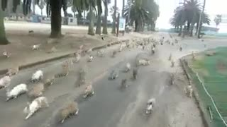 Woman being chased by RABBITS! - Video