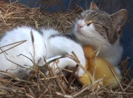 Amazing Cat Feeding Ducklings! - Video
