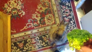 Cute Rabbit Nods Head For Food! - Video