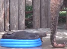 Cute Baby Elephant Plays In Kids Pool! - Video