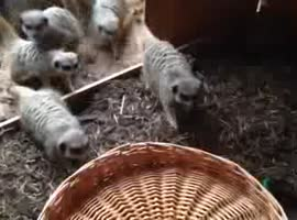 Meerkats vs Basket - Video