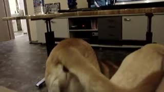 Golden Retriever 5 and a half months`s - Video