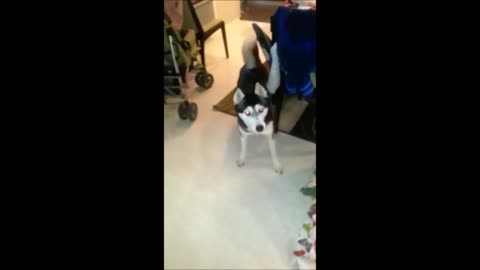 Dog doesn't know how to react to being filmed