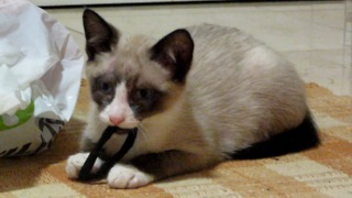 Cute Kitten Enjoys Playing With His Hair Tie