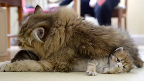 Watch This Loving Cat Mom Taking Excellent Care Of Her Adorable Newborn Kitties