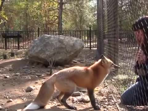 Fox Jumping for Treats