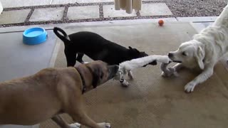Dogs Square Off In Tug of War! - Video