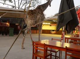 Giraffe Casually Walks Through Restaurant - Video