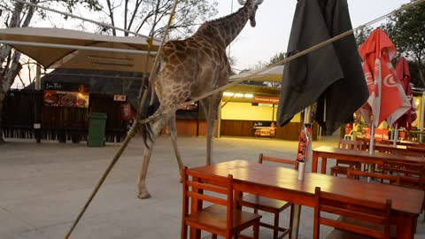 Giraffe casually walks through restaurant in South Africa