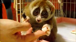 Slow Loris eating a Rice Ball - Video