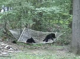 Cute Bear Cubs Hammock - Video