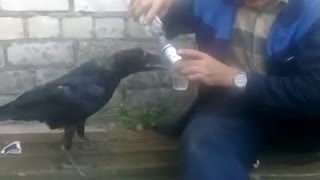 Russian Man Shares Vodka with Crow - Video