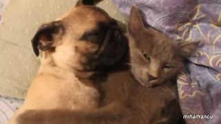 Dog annoying snoring ear kitten - Video