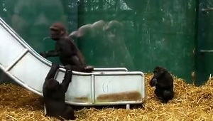 Baby Gorillas Bully Older Brother - Video