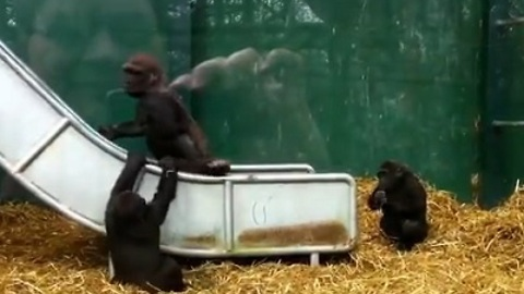 Baby Gorillas Bully Older Brother