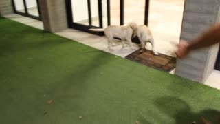 Playful Puppies Run Straight Into Door! - Video