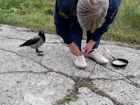 Extremely crafty crow