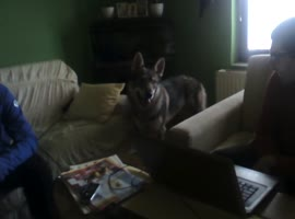 my wolfdog - Video