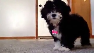Puppy Gets Shy In Front of the Camera - Video