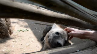Petting a Hyena! - Video