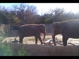 Elephant Really Wants to Break Stick! - Video