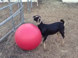Goat Playing with Red Yoga Ball