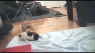 Guinea Pig and Bunny Rabbit are Best Friends - Video