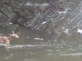 Baby Deer Swims over Waterfall - Video