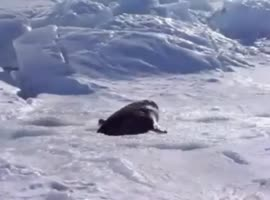 Wild seal fusses over going into the water. - Video
