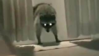 Racoon Robber - Video