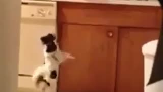 Dog Dancing In The Kitchen - Video
