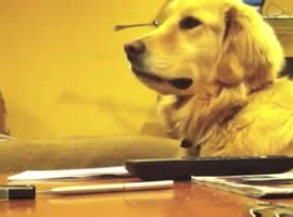 Golden Retriever Loves to Listen to Guitar - Video