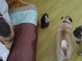 Pug Barks at Pug Pillow! - Video