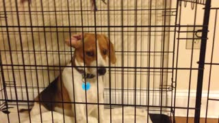 Determined Beagle Just Can't Reach Her Toy - Video