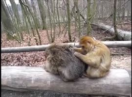 Monkey Grooms His Friend