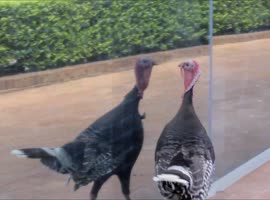 Turkey Confused By Reflection - Video