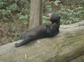 Sleepy Bear Relaxing on Fallen Tree - Video