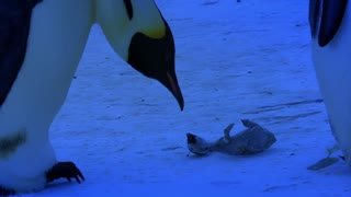 Poor Mama Penguin Has a Grieving Moment - Video