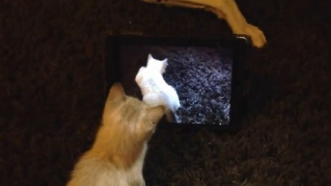 Cute Kitten Loves Playing with an iPad