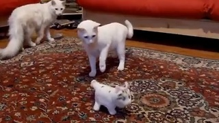 Cautious Cats Approach New Toy - Video