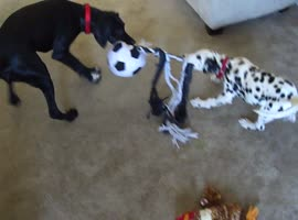 Puppy Beats Odds, Wins Tug of War! - Video