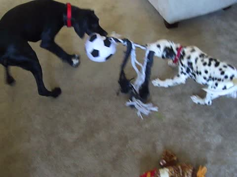 Puppy Beats Odds, Wins Tug of War!