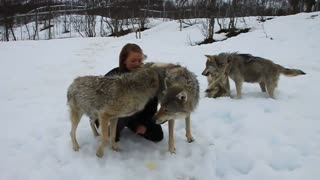 These wolves love this woman. - Video