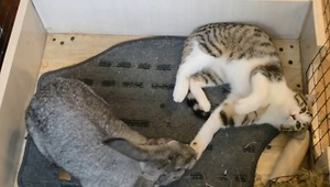Kitten determined to get rabbit's attention - Video