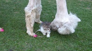 Lacey The Alpaca Loves To Hang Out With Cats - Video