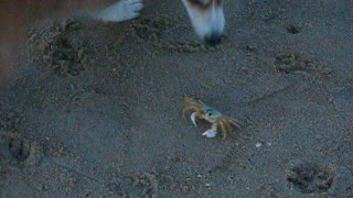 Corgi Battles a Crab on the Beach